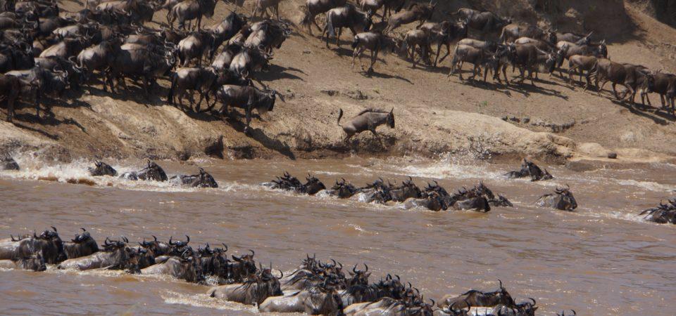 Wildebeest crossing the Mara River in Tanzania. Photo by Paul R. Ehrlich