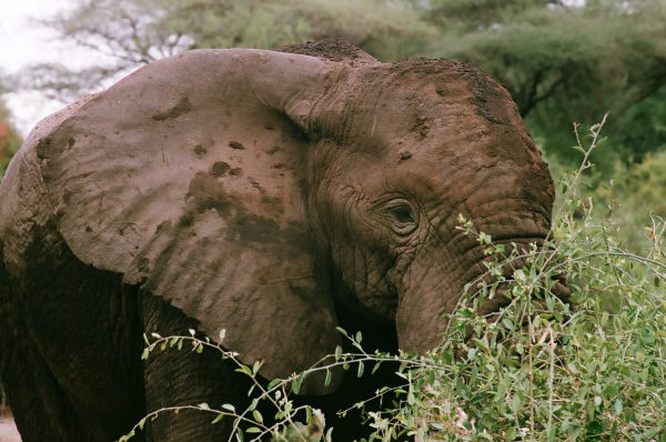 African elephant in Tanzania by Erika Gavenus