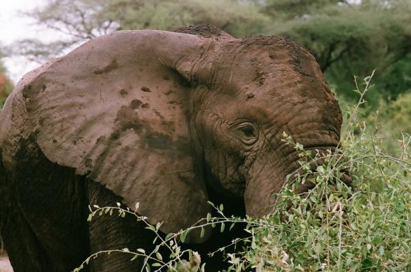 African elephant in Tanzania by Erika Gavenus
