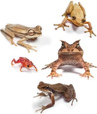 Amphibians from Brazil's Atlantic Rainforest by Gui Becker