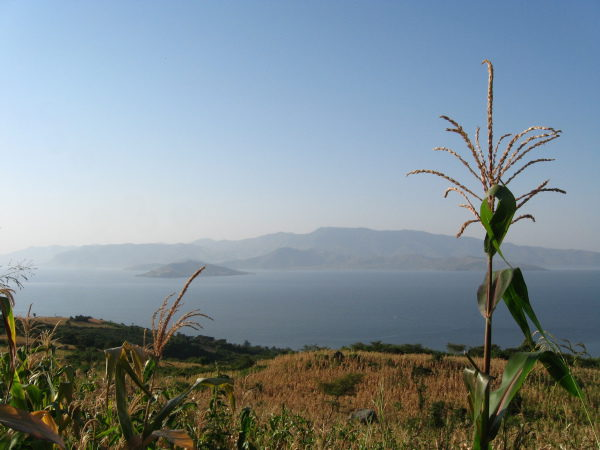 Corn growing along the Kenyan coast of Lake Victoria by Erika Gavenus