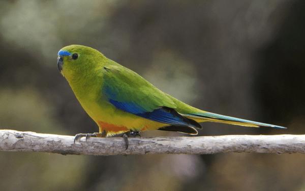 Orange-bellied parrot by Paul Ehrlich