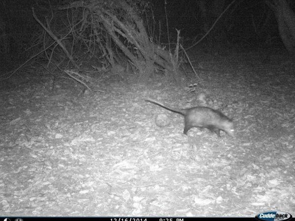 Didelphis marsupialis from Playa Viva, Mexico