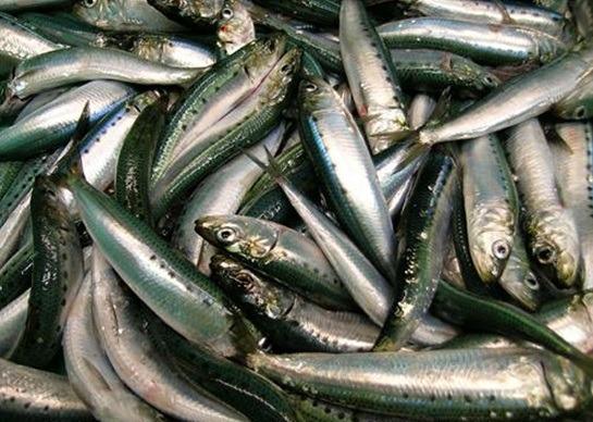 Catch of Pacific sardines via NOAA FishWatch