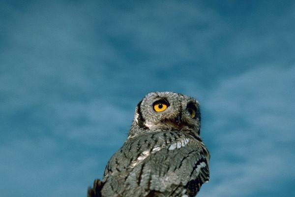 Image of Western screech owl by Gary M. Stolz via USFWS