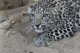 Critically Endangered Arabian Leopard © M.C. Tobias