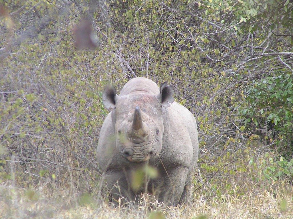 Black rhino   ©Lowveld Rhino Trust