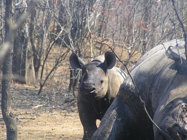Black rhino calf next to its poached mother   ©Lowveld Rhino Trust