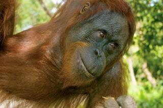 Orangutan, Borneo  © J.G. Morrison