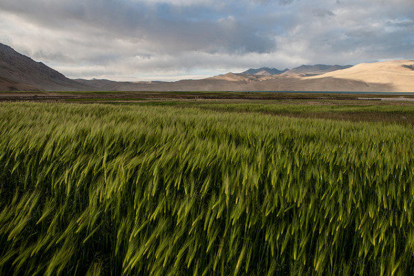 Barley fields of Tso Moriri, Ladakh, India | Photo by Sandeepa Chetan | Flickr | CC BY-NC-ND 2.0