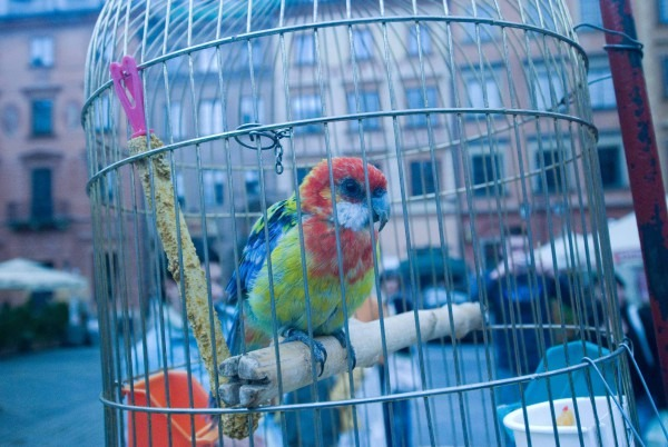 A Parrot Trapped Outdoors in Wintery Warsaw, Poland   © M. C. Tobias