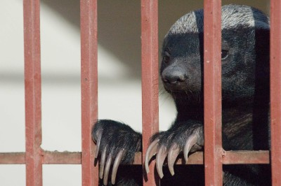 A Caged Ratel, the Indian Honey Badger (Mellivora capensis), in a Zoo in Yemen © M. C. Tobias