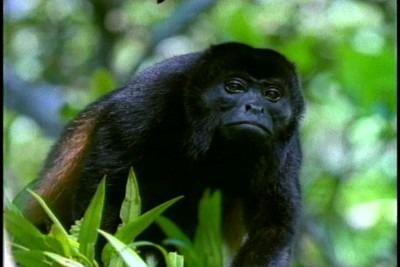 A Brazilian Black Howler Monkey © M. C. Tobias