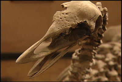 Extinct Elephant Bird, Madagascar | © M. C. Tobias