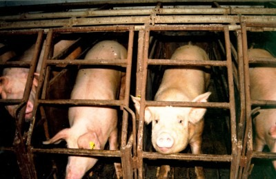 "The ""Life"" and Death of Pigs 