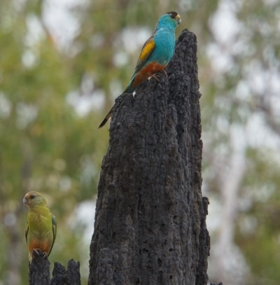 A pair of golden-shouldered parrots at Artemis Station, sitting on the termite mound that contains its nest.  Male on top, female below | Photo by Paul R. Ehrlich