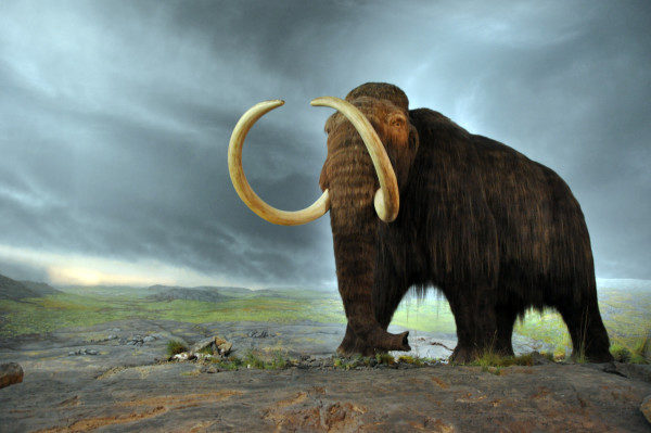 Photo by Flying Puffin | Wikimedia | CC BY-SA 2.0    https://commons.wikimedia.org/wiki/File:Woolly_mammoth.jpg