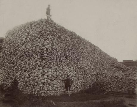 The iconic  image of bison skulls in the US in 1870, hunted during the seizure of land from indigenous peoples | Public Domain