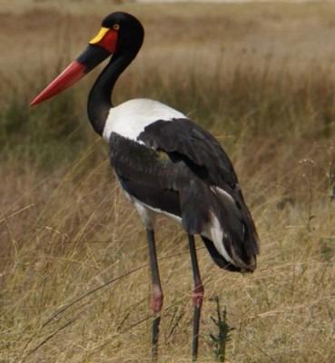 Saddle-billed stork –one of the beauties of the Okavango Delta. | PR Ehrlich