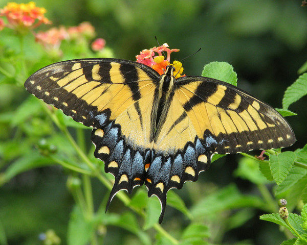 Eastern Tiger Swallowtail by Vicki DeLoach |Flickr | CC BY-NC-ND 2.0