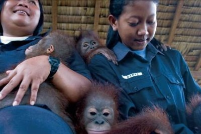 Borneo orangutan orphans being raised for reintroduction into the wild, Indonesia © M.C. Tobias
