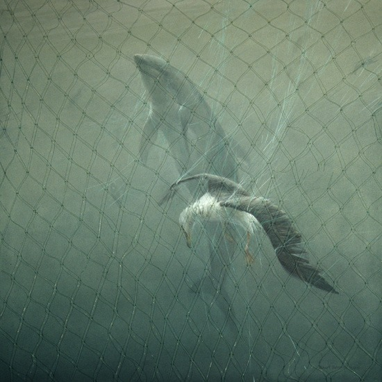 Robert Bateman Driftnet (Pacific White-sided Dolphin & Lysan Albatross) | 1993, Acrylic on Canvas, 36x36 © Robert Bateman | Currently on display in Environmental Impact