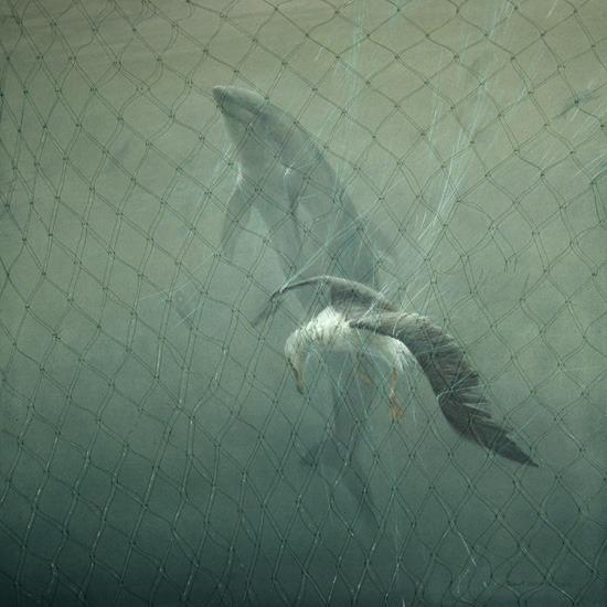 Robert BatemanDriftnet(Pacific White-sided Dolphin & Lysan Albatross)|1993, Acrylic on Canvas, 36x36©Robert Bateman| Currently on display inEnvironmental Impact