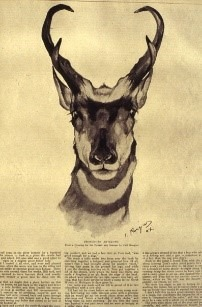 Pronghorn Antelope | Carl Rungius