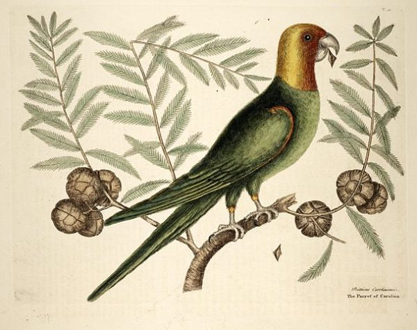 The Parrot of Carolina | Mark Catesby 1754