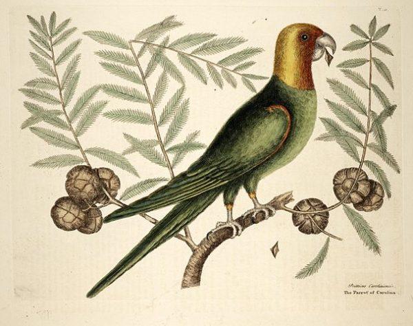 The Parrot of Carolina | Mark Catesby 1754