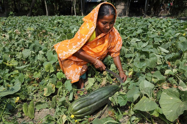 Woman harvesting muskmelons in Khulna, Bangladesh.Photo by M. Yousuf Tushar, WorldFish 2014 | Flickr | CC BY-NC-ND 2.0