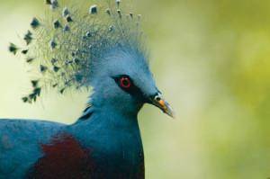Victoria Crowned Pigeon (Goura victoria), New Guinea © M. C. Tobias