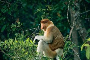 Male proboscis monkey (Nasalis larvatus), Borneo © M. C. Tobias