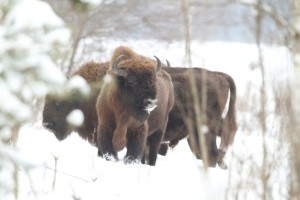Iconic European bison has been saved from extinction in Białowieża after the WW I. Image by Oli Wenhrynowicz.
