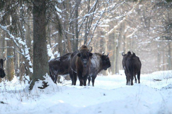 Iconic European bison has been saved from extinction in Białowieża after the WWI. Image by Oli Wenhrynowicz.