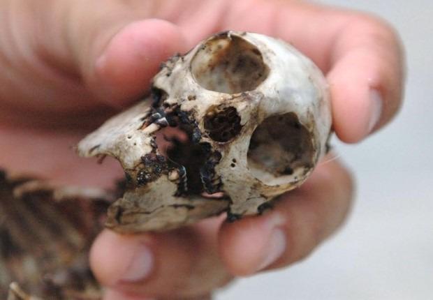 Poached skull of a Coimbra's titi monkey (Callithrix coimbrai), Sergipe State, Brazil © M. C. Tobias