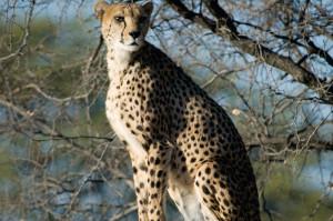 Namibian cheetah, (Acinonyx jubatus jubatus) © M. C. Tobias