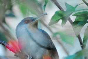HispaniolanLizard Cuckoo, (Coccyzus longirostris), Southwestern Haiti © M. C. Tobias