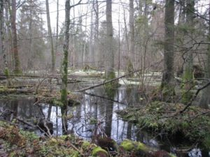 There is a mosaic of different forest types in Białowieża. Here typical wet forest (Alder karr) in late fall. Image by Grzegorz Mikusinski.