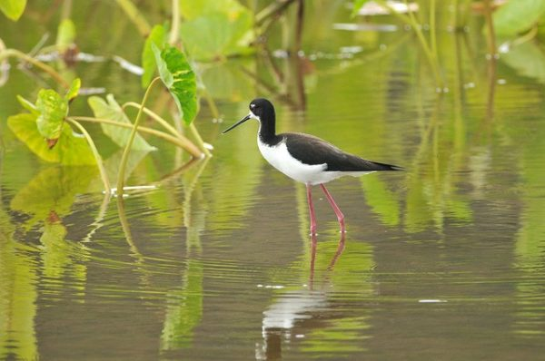 Ae'o or Hawaiian stilt  (Himantopus mexicanus knudseni) | Photo by Minette Layne | Flickr | CC BY-NC 2.0