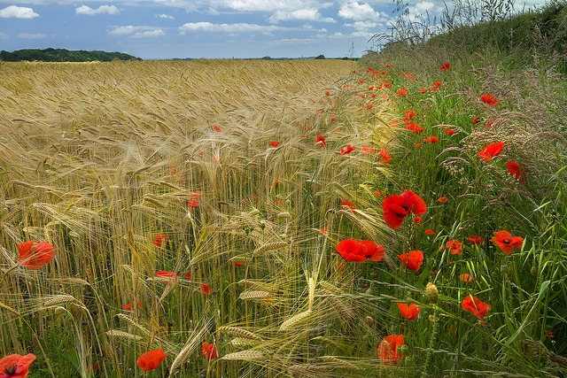 Red Green and Gold in the fields of North Norfolk by Colin | Flickr | CC BY-NC-ND 2.0