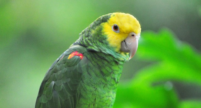 Yellow-headed Amazon (Amazona oratrix), an endangered amazon parrot of Mexico and northern Central America | Photo by Hearther Paul | Flickr | CC BY-ND 2.0