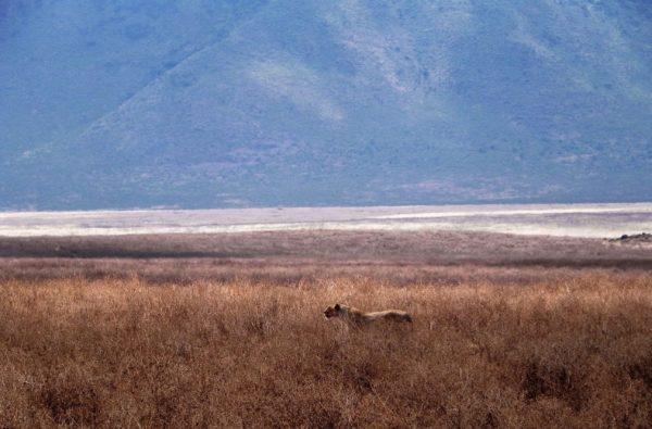 Lioness in Ngorongoro, Tanzania   Photo by Elisabetta Corrà
