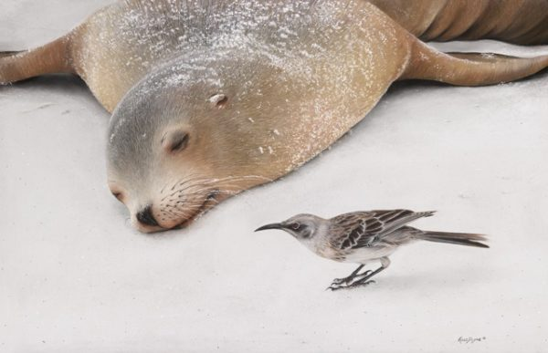 Kelly Dodge Mischief Maker, Galapagos Sea Lion and Espanola Mockingbird, 13.5x20.5 inches, Pastel on Museum paper © Kelly Dodge