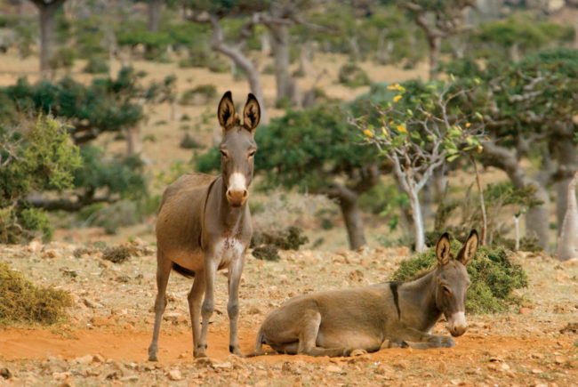 Wild Burros in the Protected Highlands of Socotra, Yemen, © M.C. Tobias