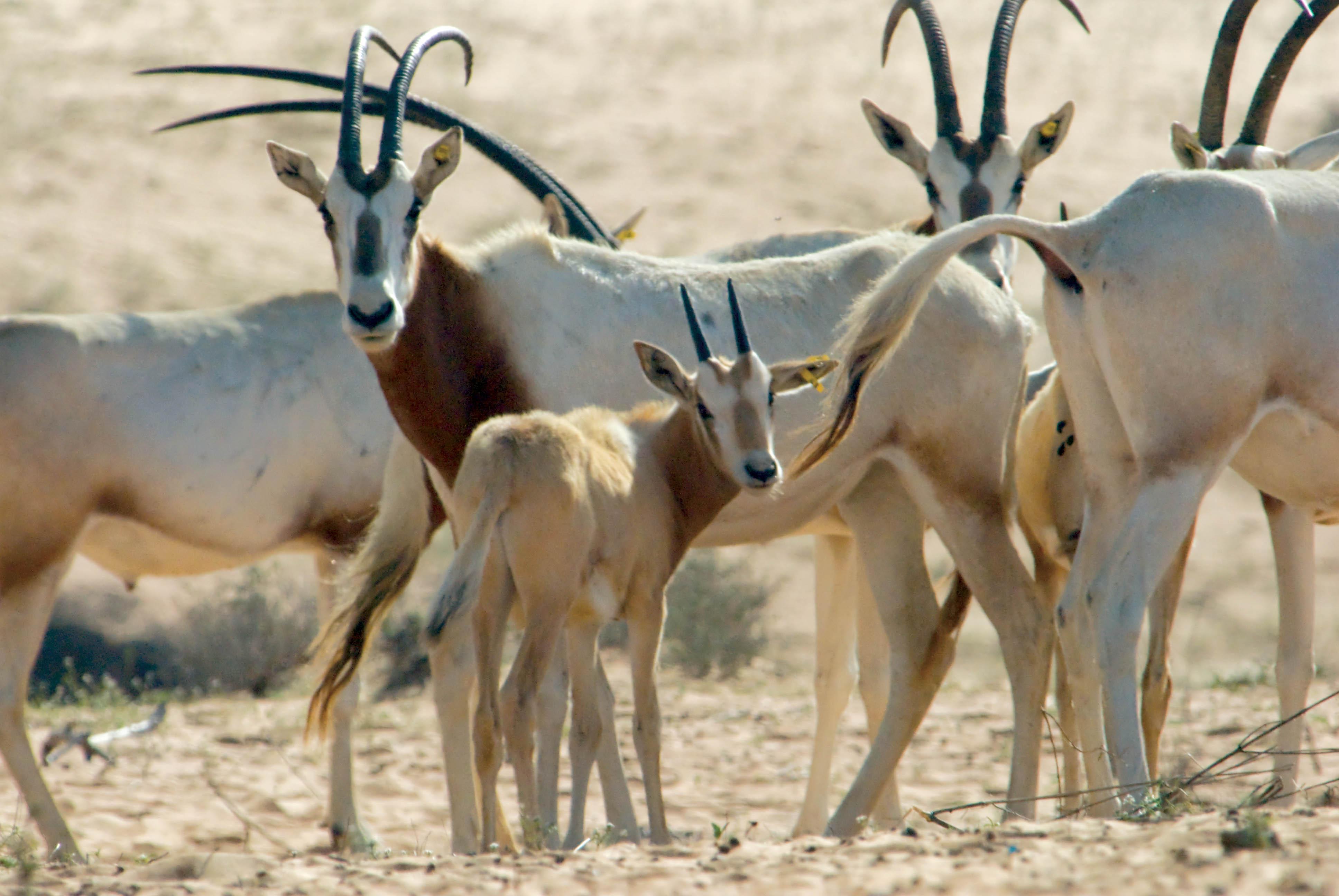 Female Arabian Oryx, Born Ten Minutes Before, Al Areen, Bahrain, © M.C. Tobias