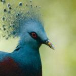 Victoria Crowned Pigeon, New Guinea, © M.C. Tobias