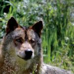 Wild Iberian Wolf Friend, Grupo Lobo, Portugal, © M.C. Tobias