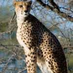 Adult Cheetah at a Southern African Wildlife Sanctuary, © M.C. Tobias