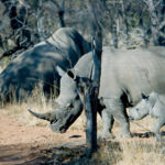 White Rhino Family on Private Sanctuary, South Africa, © M.C. Tobias